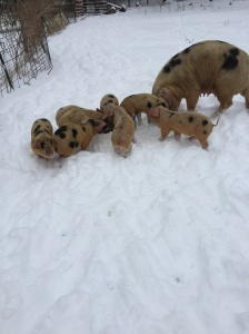Boar pigs for sale